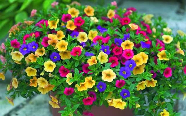 Balkonpflanzen märz  Beet- und Balkonpflanzen :: Gartenbau Robin Schönfeldt
